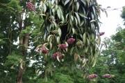Фото 20 Хойя (восковой плющ): неприхотливая цветущая лиана