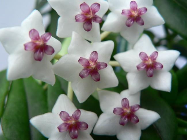 Пользуется огромной популярностью у цветоводов благодаря ароматным цветкам