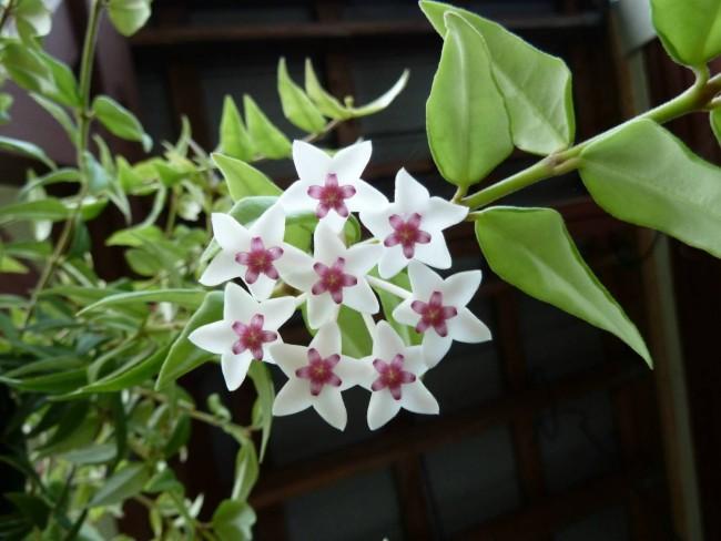 Хойя (восковой плющ): неприхотливая цветущая лиана