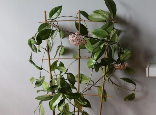 На взрослом растении может одновременно распуститься от 20 до 50 соцветий, аромат которых к вечеру становится очень интенсивным