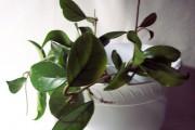 Фото 5 Хойя (восковой плющ): неприхотливая цветущая лиана