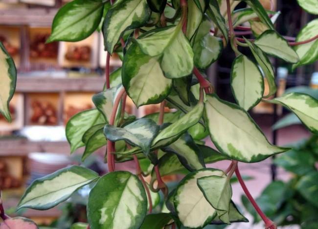 Листья хойи содержат слабые токсины, поэтому растение лучше держать в месте, недоступном для детей и домашних животных