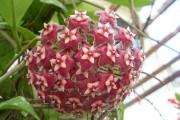 Фото 13 Хойя (восковой плющ): неприхотливая цветущая лиана