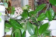 Фото 9 Хойя (восковой плющ): неприхотливая цветущая лиана