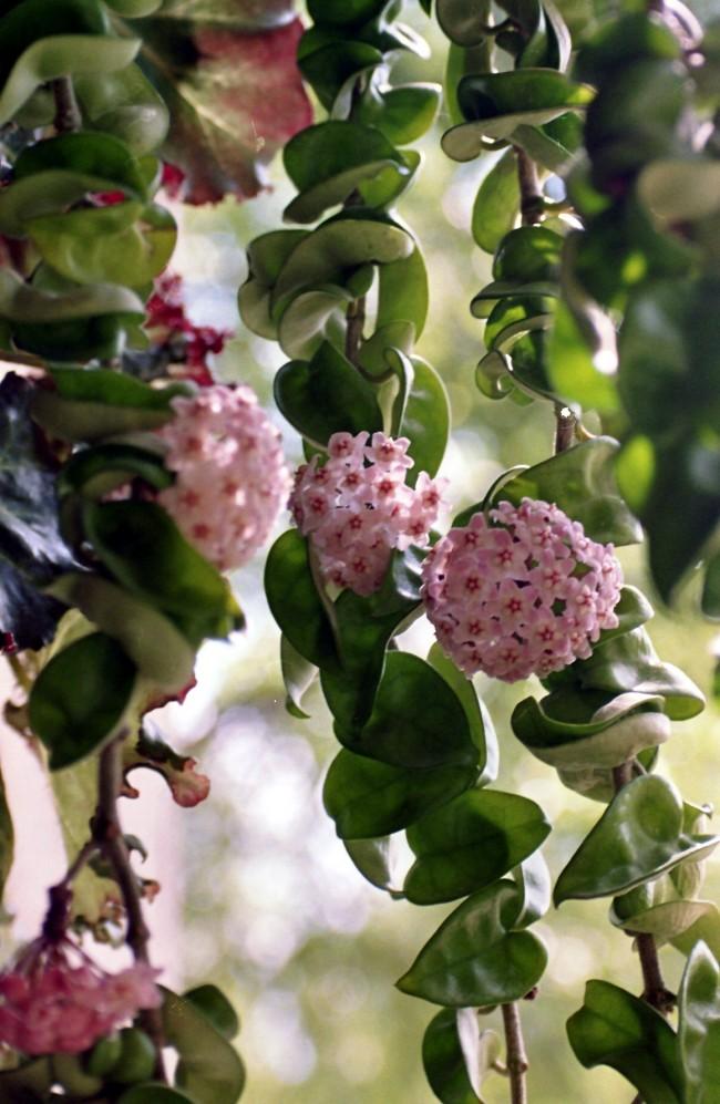При надлежащем уходе хойя отблагодарит красивейшими, словно восковыми, цветами