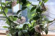 Фото 7 Хойя (восковой плющ): неприхотливая цветущая лиана