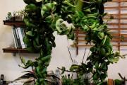 Фото 3 Хойя (восковой плющ): неприхотливая цветущая лиана