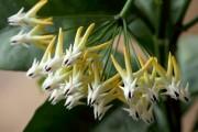 Фото 10 Хойя (восковой плющ): неприхотливая цветущая лиана
