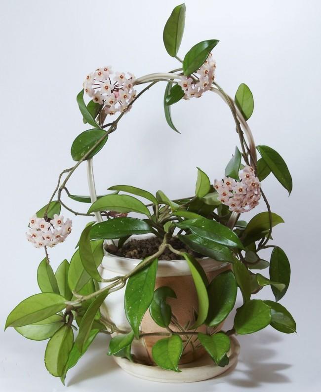 В хороших условиях цветение воскового плюща начинается весной и заканчивается осенью
