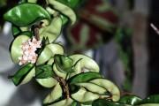 Фото 17 Хойя (восковой плющ): неприхотливая цветущая лиана