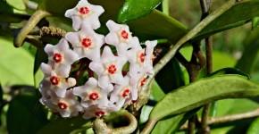 Хойя (восковой плющ): неприхотливая цветущая лиана фото