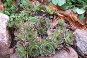 Фото 14 Каменная роза (молодило): все секреты посадки, уход в домашних условиях и создание альпинариев в саду
