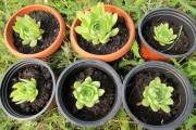 Фото 9 Каменная роза (молодило): все секреты посадки, уход в домашних условиях и создание альпинариев в саду