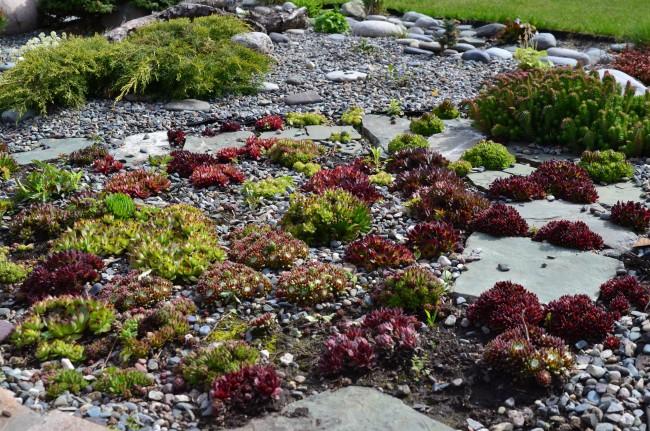 """Сейчас в садовом дизайне очень популярны суккуленты, в частности, такое растение как молодило или """"каменная роза"""""""