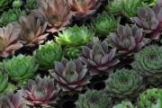 Фото 10 Каменная роза (молодило): все секреты посадки, уход в домашних условиях и создание альпинариев в саду