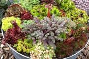Фото 2 Каменная роза (молодило): все секреты посадки, уход в домашних условиях и создание альпинариев в саду