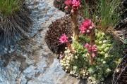 Фото 13 Каменная роза (молодило): все секреты посадки, уход в домашних условиях и создание альпинариев в саду