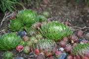 Фото 8 Каменная роза (молодило): все секреты посадки, уход в домашних условиях и создание альпинариев в саду