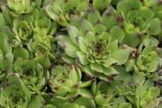 Фото 6 Каменная роза (молодило): все секреты посадки, уход в домашних условиях и создание альпинариев в саду