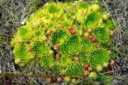 Фото 24 Каменная роза (молодило): все секреты посадки, уход в домашних условиях и создание альпинариев в саду