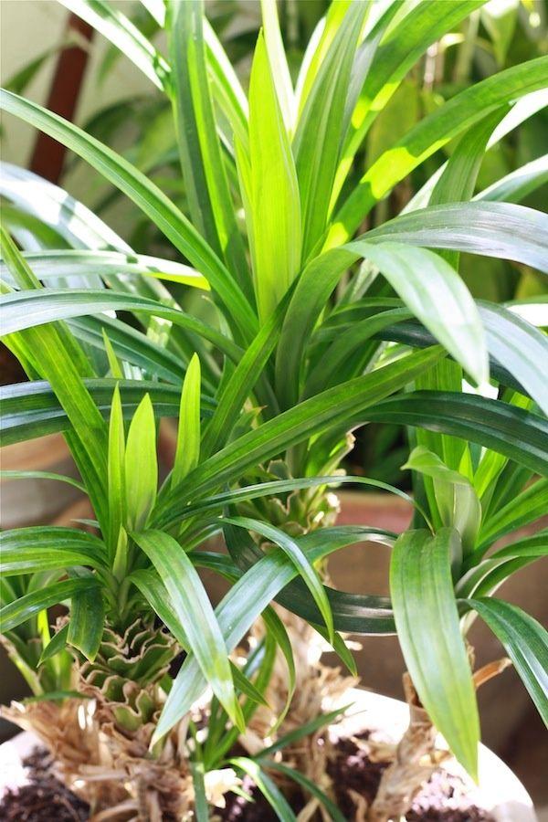 Растению желательно светлое место без яркого солнца