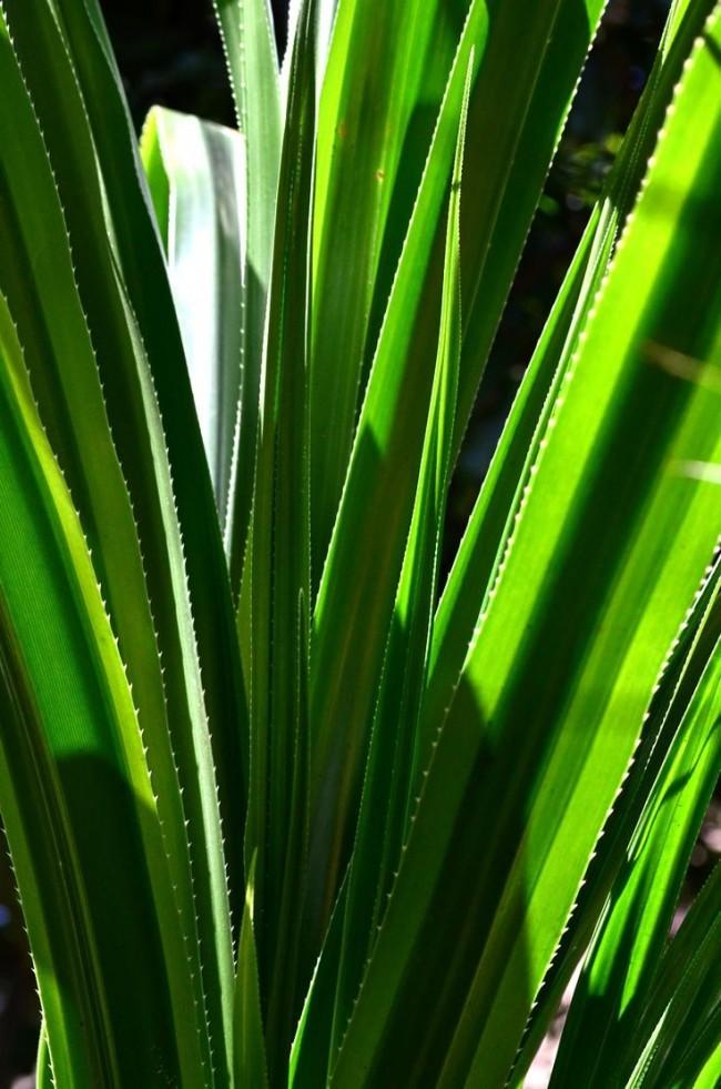 В условиях недостаточной освещённости пестролистные формы теряют окраску и становятся просто зелёными