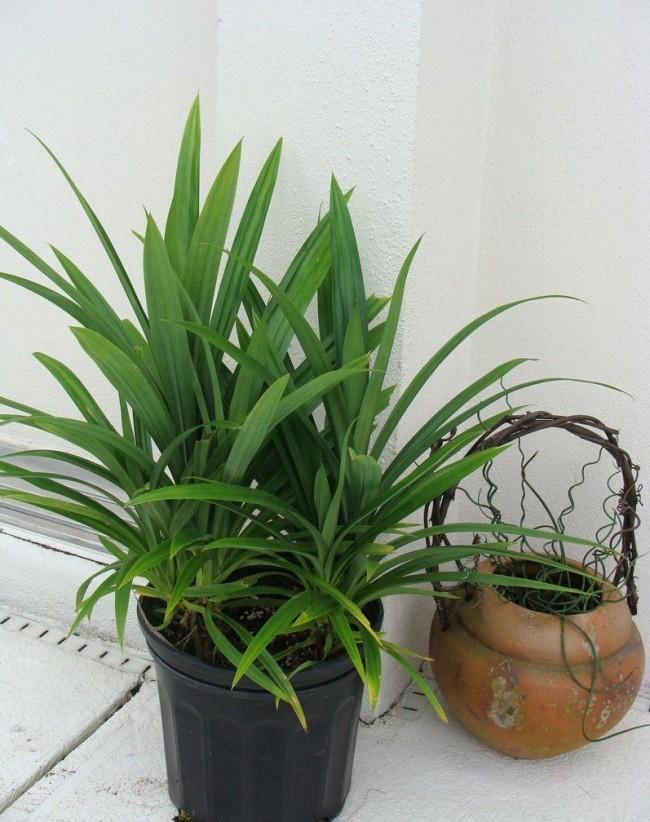 В домашних условиях панданус выращивать несложно