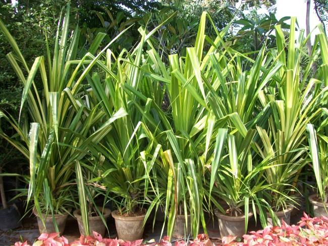 Растение, как правило, выбирают для больших, просторных помещений с высокими потолками