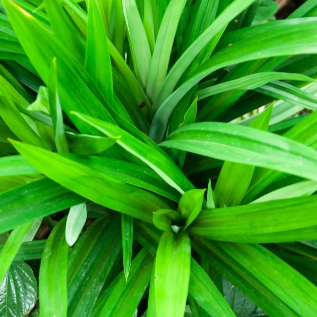 Панданус – прекрасное декоративное растение, простое в уходе, но не всегда подходящее для выращивания в домашних условиях