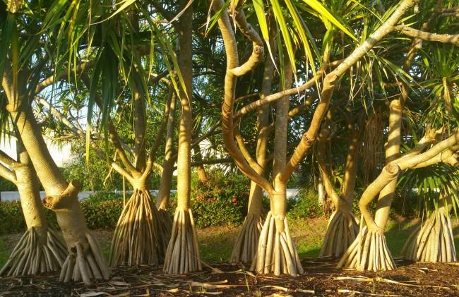 Пандан – тропическое растение со сложной корневой системой