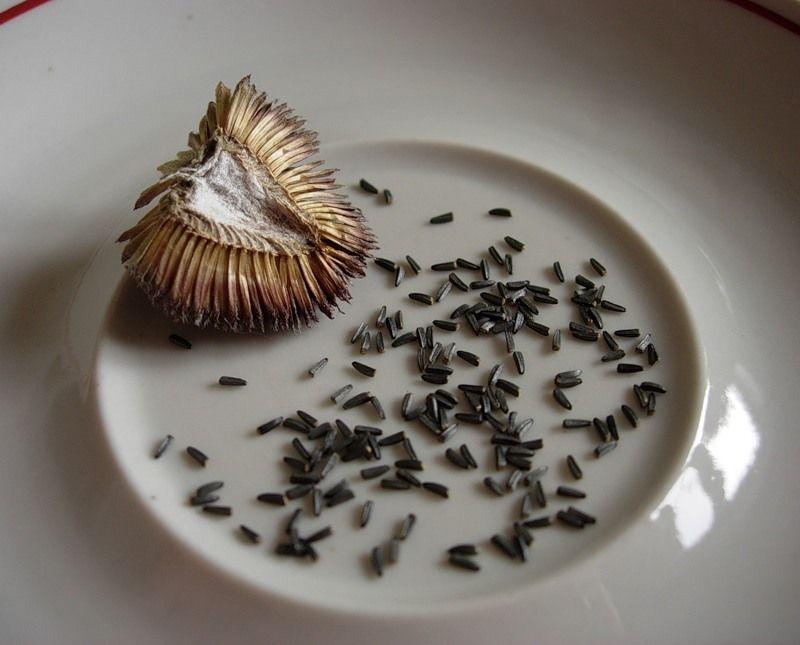Как из семян вырастить рудбекию из семян в домашних условиях