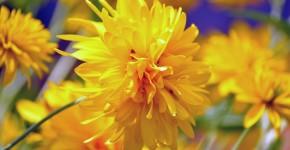 Рудбекия (45 фото): как вырастить «золотой шар» в вашем саду фото