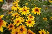 Фото 4 Рудбекия — «золотой шар» в вашем саду (50+ фото видов): советы по посадке и уходу от опытных садоводов