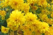 Фото 6 Рудбекия — «золотой шар» в вашем саду (50+ фото видов): советы по посадке и уходу от опытных садоводов