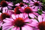 Фото 3 Рудбекия — «золотой шар» в вашем саду (50+ фото видов): советы по посадке и уходу от опытных садоводов