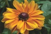 Фото 15 Рудбекия — «золотой шар» в вашем саду (50+ фото видов): советы по посадке и уходу от опытных садоводов