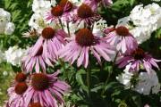 Фото 7 Рудбекия — «золотой шар» в вашем саду (50+ фото видов): советы по посадке и уходу от опытных садоводов