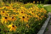 Фото 9 Рудбекия — «золотой шар» в вашем саду (50+ фото видов): советы по посадке и уходу от опытных садоводов