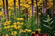 Фото 17 Рудбекия — «золотой шар» в вашем саду (50+ фото видов): советы по посадке и уходу от опытных садоводов