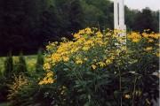 Фото 10 Рудбекия — «золотой шар» в вашем саду (50+ фото видов): советы по посадке и уходу от опытных садоводов