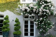 Фото 2 Вьющиеся розы (59 фото): уход за аристократической красавицей