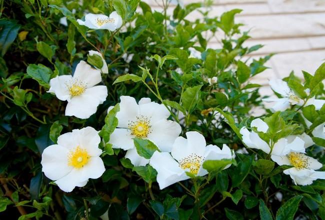 Красивая вьющаяся роза с белоснежными бутонами