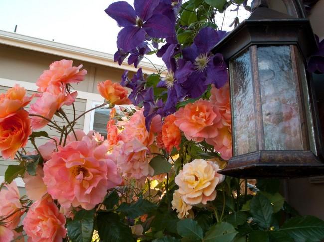 Роза в мире растений всегда остается аристократкой