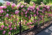 Фото 6 Вьющиеся розы (59 фото): уход за аристократической красавицей