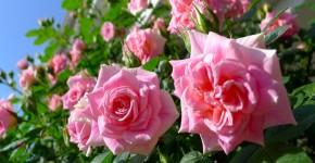 Вьющиеся розы (59 фото): уход за аристократической красавицей фото