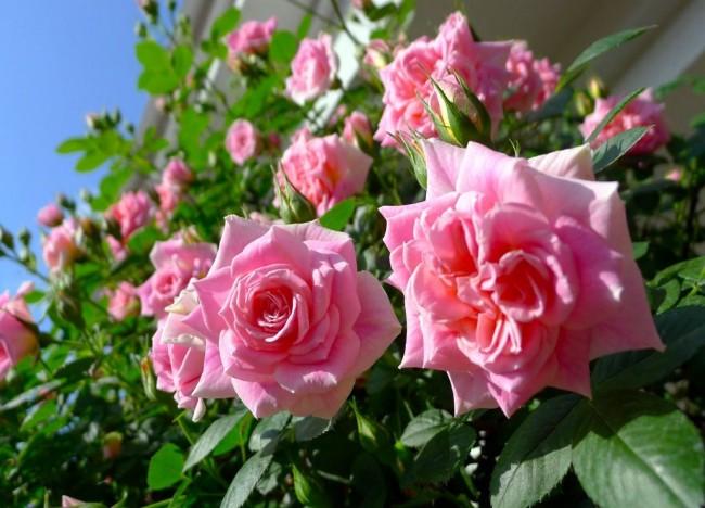Восхитительные бутоны красавицы розы