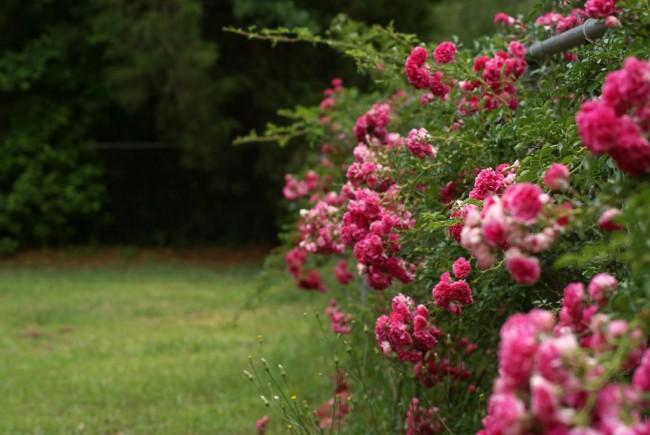 Кто хоть раз видел цветущие вьющиеся розы, тот с трудом сможет удержаться от соблазна посадить у себя в саду хотя бы одно такое растение