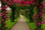 Фото 3 Вьющиеся розы (59 фото): уход за аристократической красавицей