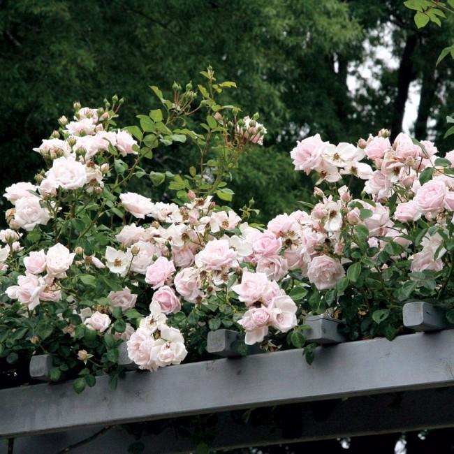 Светлая роза в украшении перголы