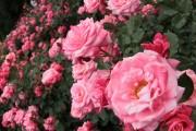Фото 14 Вьющиеся розы (59 фото): уход за аристократической красавицей